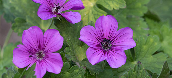 Geranium Cold Weather Flower