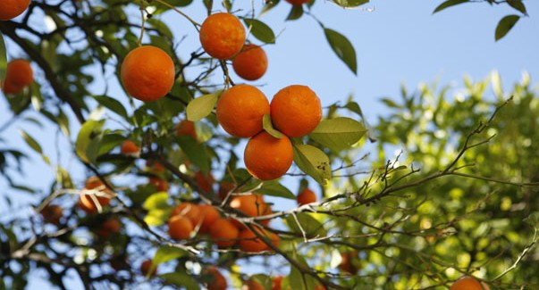 Citrus trees - Protecting fruit trees in winter ...