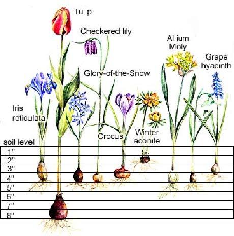 bulb planting depths