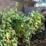 boy picking eggplants